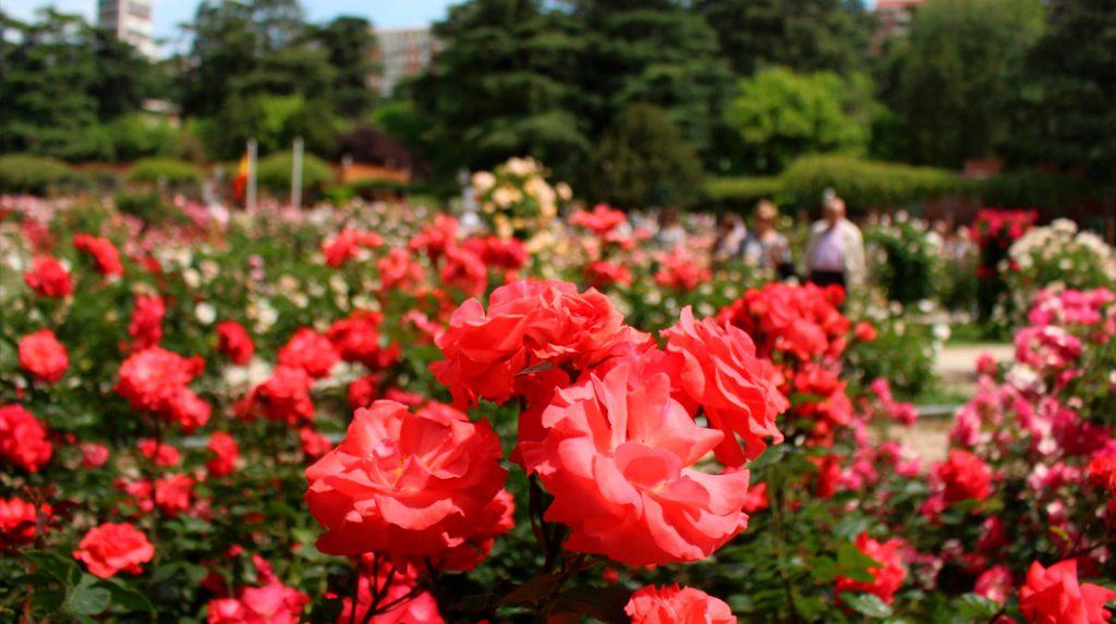 Primer plano de rosas de la Rosaleda del Parque del Oeste.