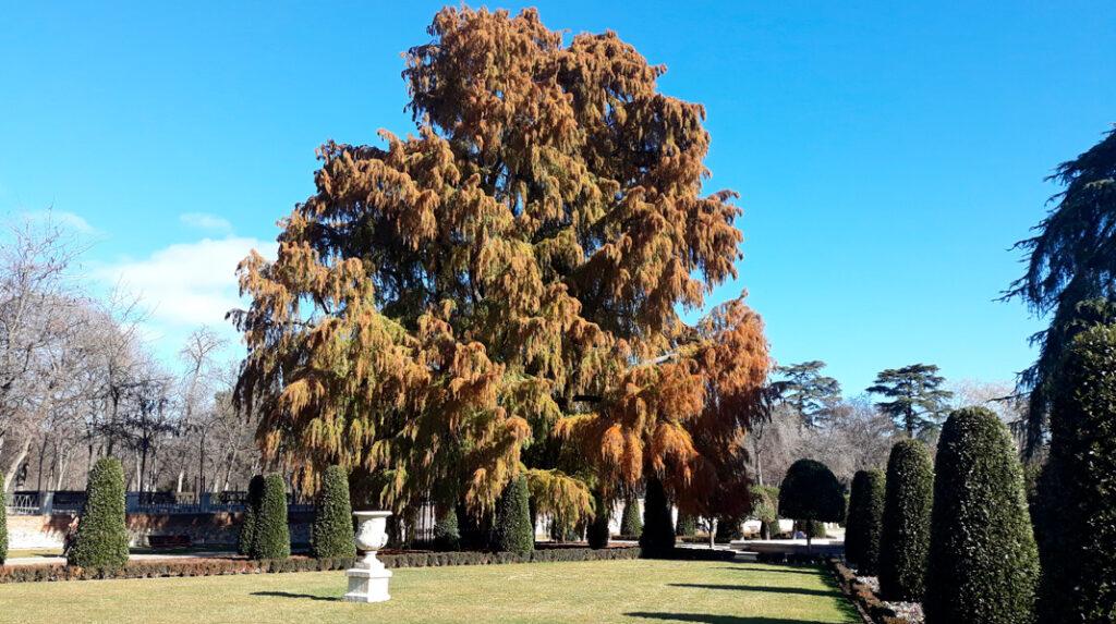 Aspecto imponente del 'abuelo' de los árboles del Parque del Retiro.