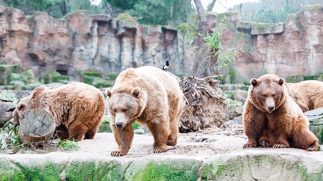 Familia de osos en el Zoo de Madrid.