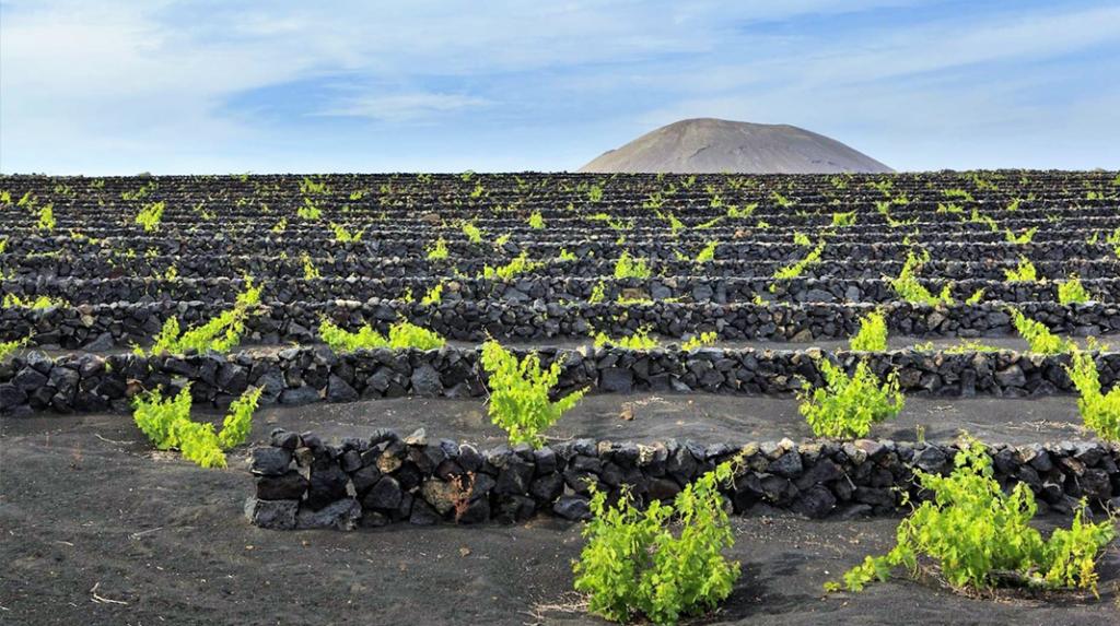 Cultivo de vides en Lanzarote en zanjas con muros de piedra volcánica.